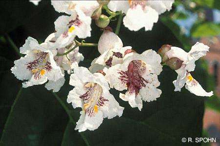 Stihl baumlexikon indian bean tree southern catalpa blten flowering mightylinksfo